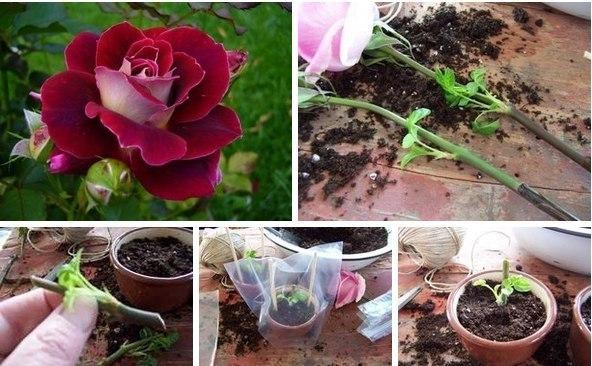 Роза в букете дала ростки как посадить, цветов для