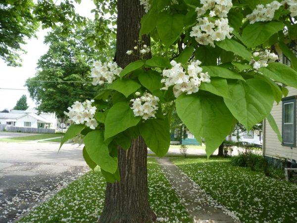 Катальпа дерево (фото): посадка и уход, болезни