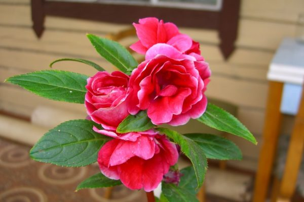Бальзамин садовый