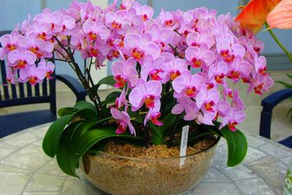Cvetenie-falenopsisa