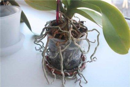 Kogda-nuzhna-peresadka-orhidei.