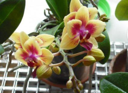 cvetuschaja orhideja