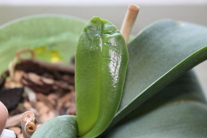Деформация листьев орхидеи