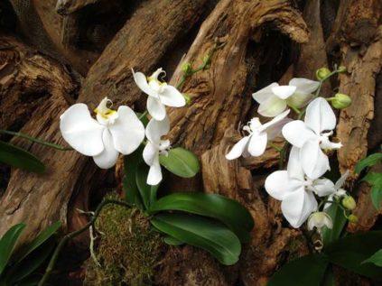 falenopsis na dereve