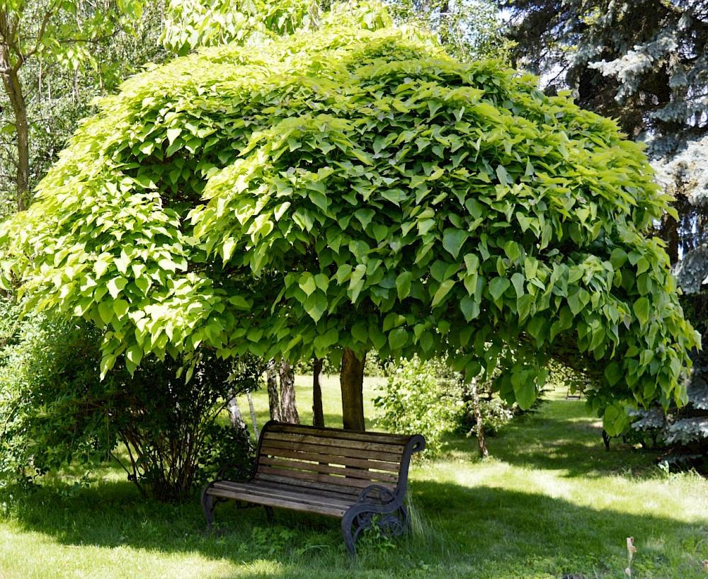 Катальпа дерево - фото, описание, посадка и уход