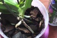 kornevin-orhideja