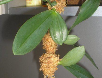 moh dlja orhidei