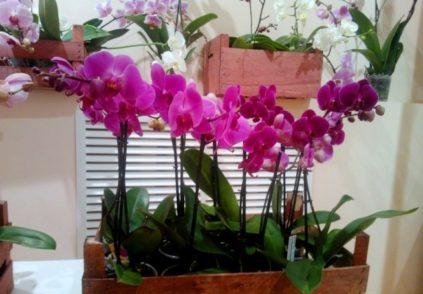 neskolko orhidej v odnom gorshke