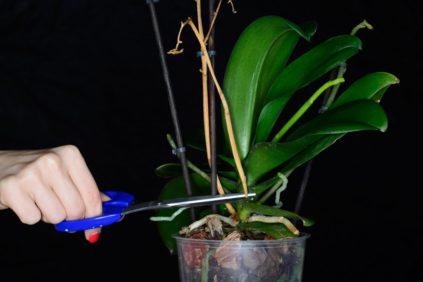 obrezanie orhidei