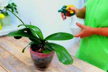 opryskivanie orhidej