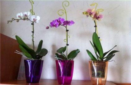 orhidei- opora cvetonosa
