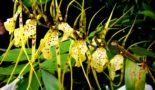 orhideja brassija