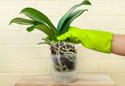 orhideja peresadka