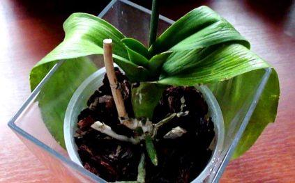 orhideja vjanet