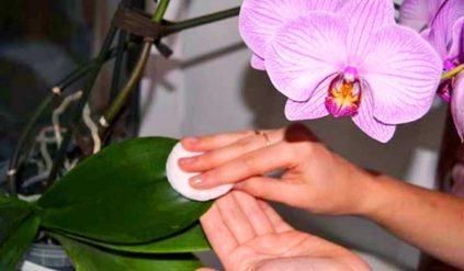 protiranie listjev orhidei