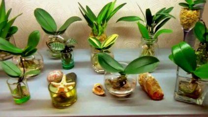 vidy otsadok orhidei