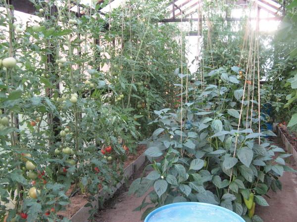 как правильно посадить лук в теплице