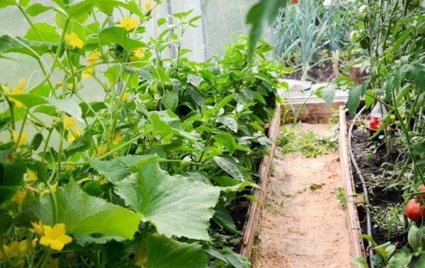 как правильно посадить томаты в теплице