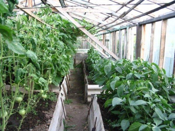 как можно посадить огурцы без теплицы