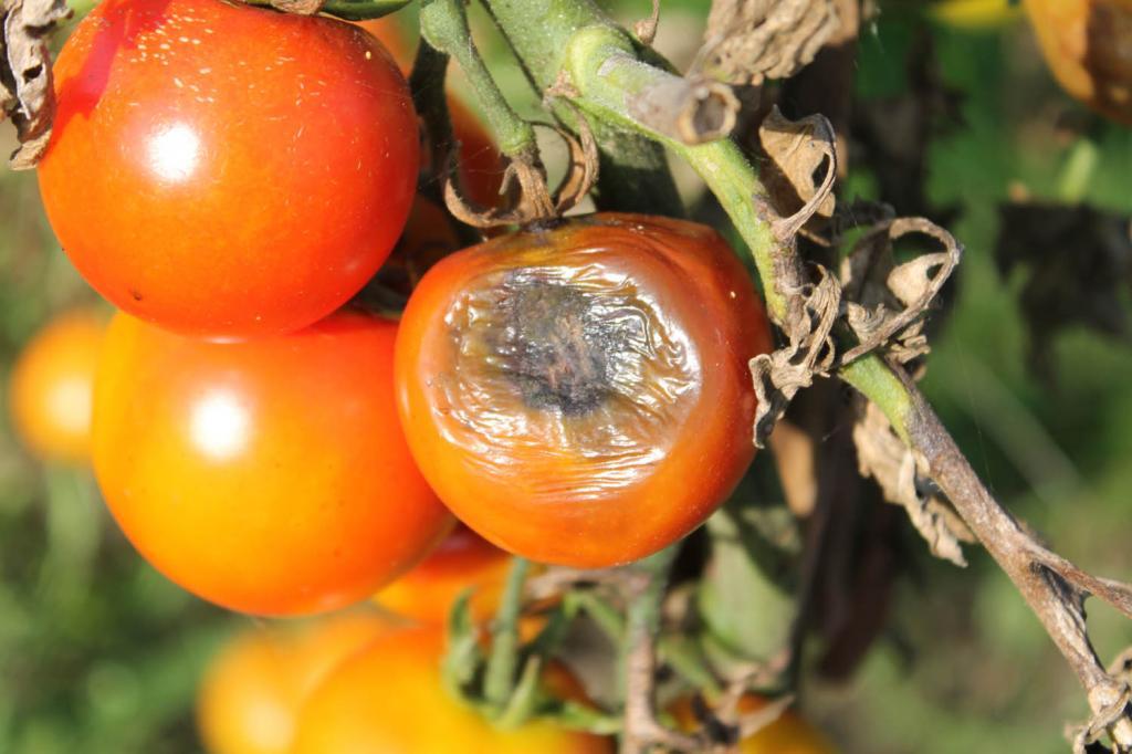 грибковые заболевания у томатов