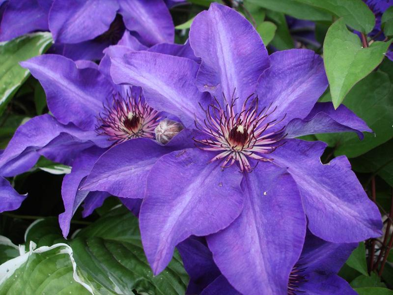 клематисы крупноцветковые