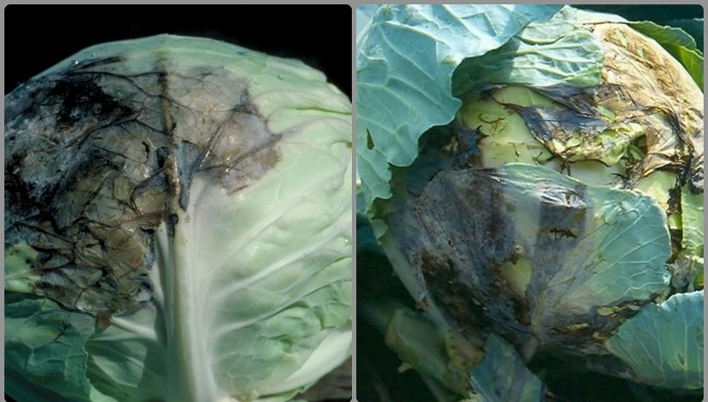 пероноспороз капусты