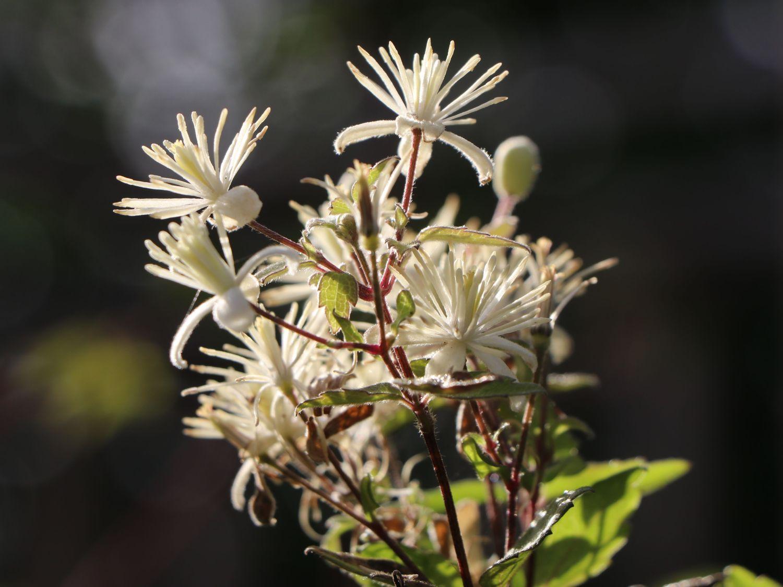 Ломонос виноградолистный (Витальба) (Clematis vitalba)