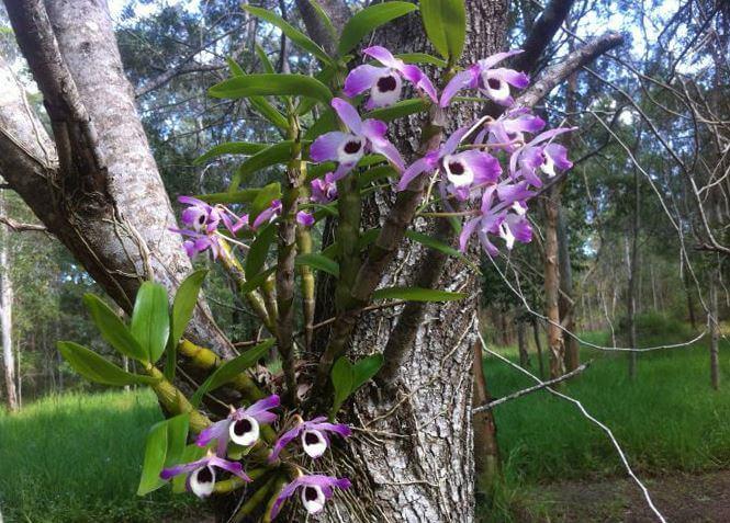 dendrobium-nobile-v prirode