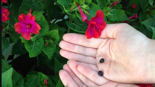 семена мирабилиса