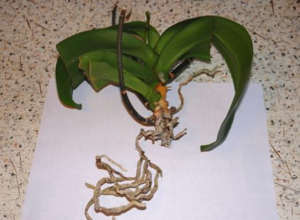 obrezka kornej orhidei
