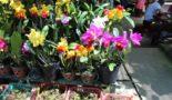 orhidei-iz-vetnama
