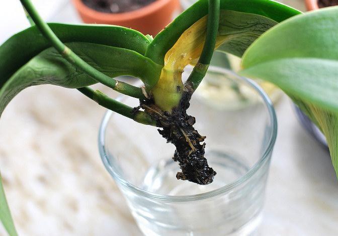 Реанимировать орхидею без корней