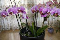Несколько орхидей в одном горшке