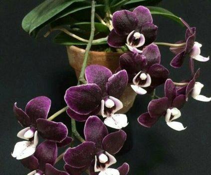 orhideja kaoda-twinkle