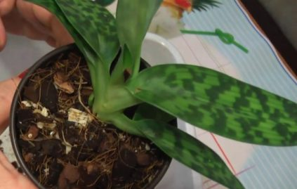 orhideja paphiopedilum peresadka
