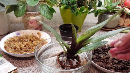 orhideja paphiopedilum poliv