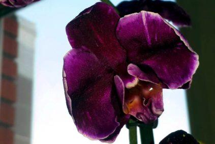 orhideja shokolad drops
