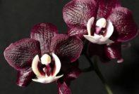 orhidja kaoda