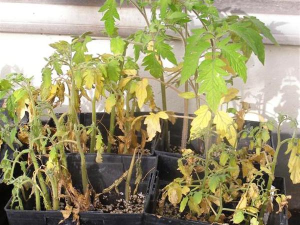 Почему желтеют листья у рассады помидор на подоконнике