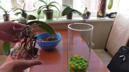 peresadka orhidei v stekljannyu vazu