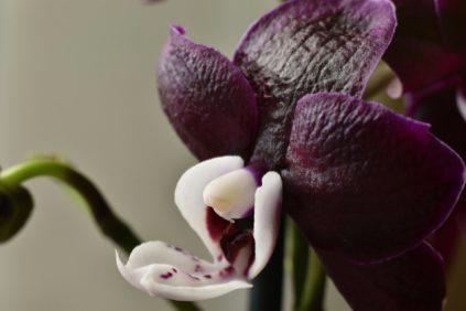 phalaenopsis-shokolad drops