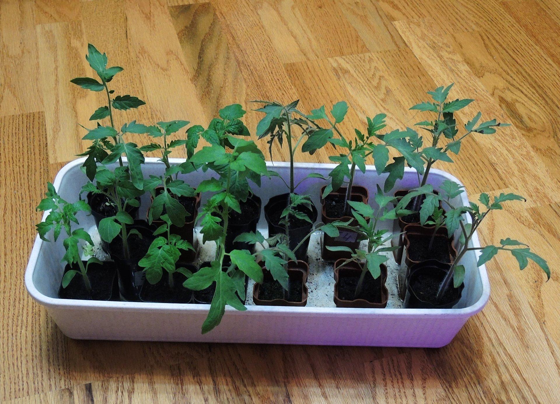 как вырастить рассаду помидор картинки кирпича для дома