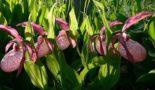 sadovaya-orhideya