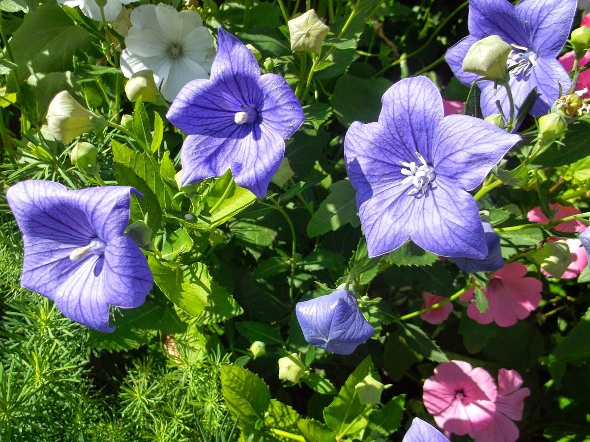 многолетний цветок