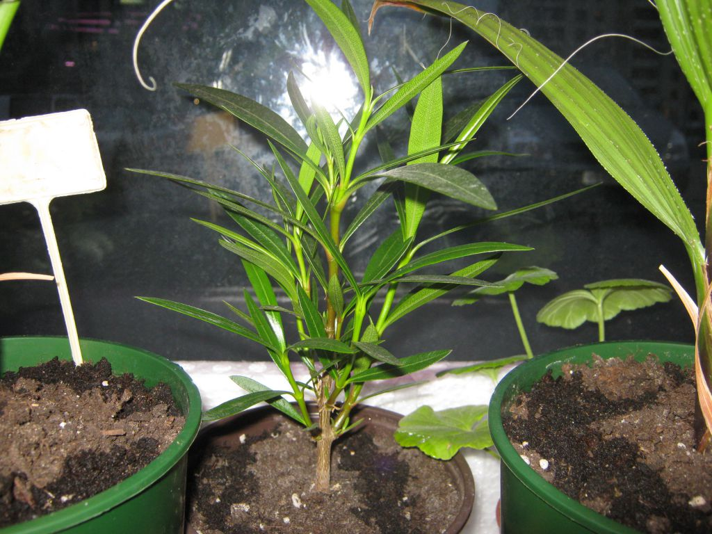 выращивание олеандра из семян