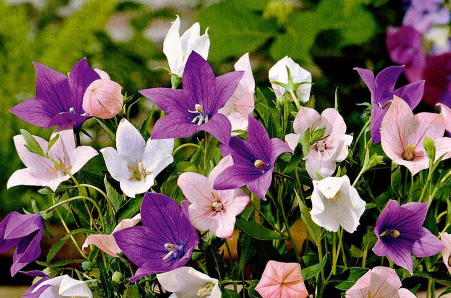 колокольчик фиолетовый