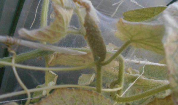 Как избавиться от паутинного клеща в теплице на огурцах: что делать