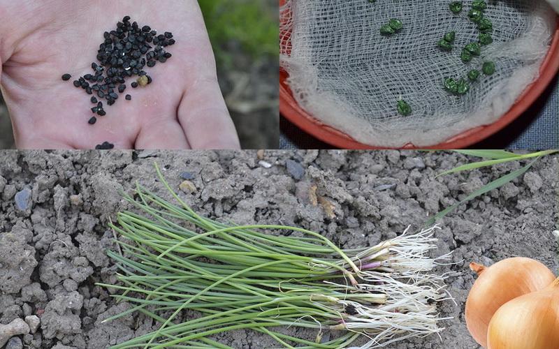 выращивание лук из семян