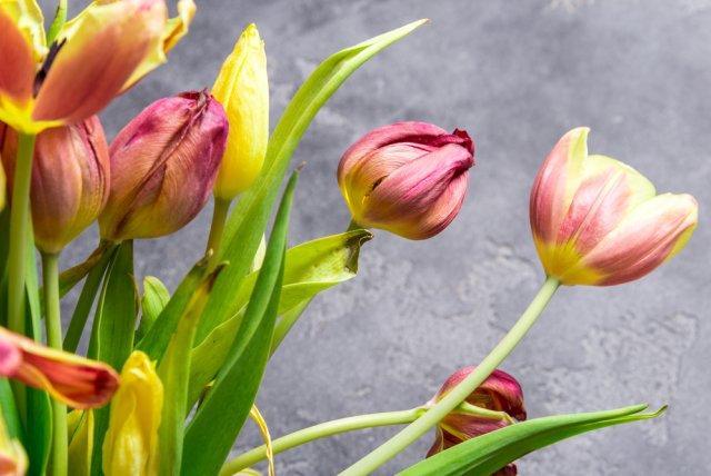 тюльпаны погибли