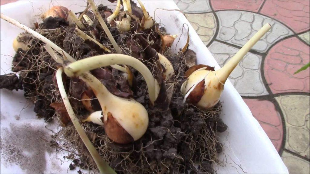 выкопанные тюльпаны